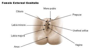 Image (1) female_genitalia.jpg for post 49362